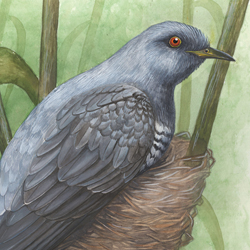 Cuckoo and Warbler: Nest Parasitism 2