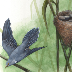 Cuckoo and Warbler: Nest Parasitism 3