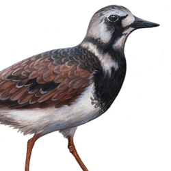 Ruddy Turnstone Plumages